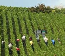 Le vin blanc gagne du terrain à la faveur de nouvelles habitudes alimentaires